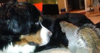 squirrel buries nut dog fur